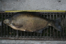 Leszcz 72 cm, 5,40 kg